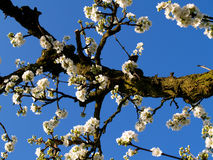 开花的果树园 库存照片