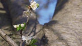 开花的果树的分支在树干的被弄脏的背景的