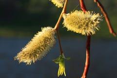 开花的枝杈杨柳 免版税库存照片