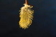 开花的枝杈杨柳 免版税库存图片