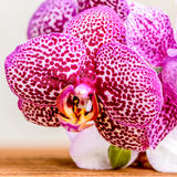 开花的枝杈淡紫色多斑点的兰花flowe的美好的构成 库存图片