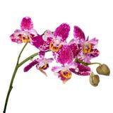 开花的枝杈紫色幽门察觉与芽兰花, phalaenops 库存图片