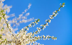 开花的枝杈 免版税库存图片