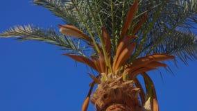 开花的枣椰子 影视素材