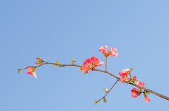 开花的柑橘灌木唯一开花的分支  库存照片