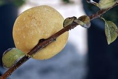 开花的柑橘,为Canea之古名oblonga苹果果子 免版税库存图片