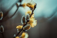 开花的柔荑花或芽,褪色柳,灰色杨柳,黄花柳在蓝色棕色天空背景的早期的春天 杨柳枝杈 库存图片