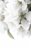 开花的柔软结构树 免版税库存照片