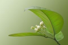 开花的柠檬 库存照片