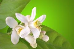 开花的柠檬 免版税图库摄影