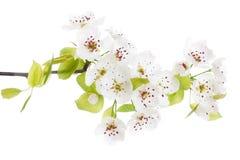 开花的查出的春天结构树白色 免版税库存照片