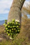 开花的柱仙人掌仙人掌在春天 免版税图库摄影