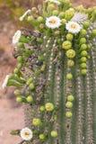 开花的柱仙人掌仙人掌在春天 库存照片
