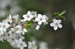 开花的树分支在早晨阳光的 软绵绵地集中 春天开花背景 免版税库存图片