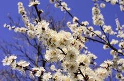 开花的树分支 库存图片