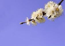 开花的树分支 免版税图库摄影