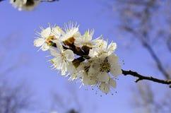 开花的树分支 免版税库存图片