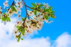 开花的树和明亮的蓝天-春天 库存照片