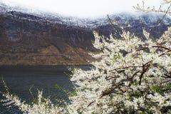开花的树在挪威 免版税库存照片