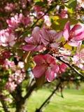 开花的树在春天 免版税库存照片
