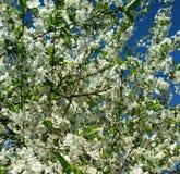 开花的树在春天 免版税库存图片