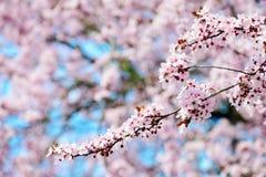 开花的树在春天 免版税图库摄影