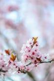 开花的树在春天 库存图片
