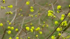 开花的树在春天 股票录像
