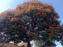 开花的树在普埃布拉,墨西哥镇  免版税图库摄影