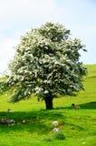 开花的树在高峰区,英国 库存图片