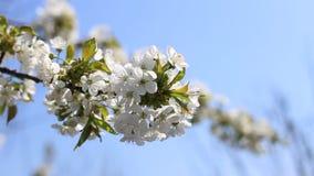 开花的树枝在有紧密白花的春天