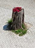 开花的树桩在一个晴天 免版税库存照片
