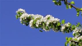开花的树梨 股票视频