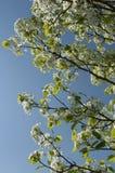 开花的树白色 免版税库存图片