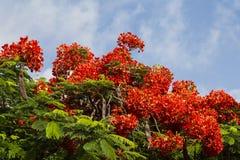 开花的树皇家的Deloniks的冠 图库摄影