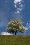 开花的树 库存图片