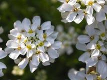 开花的树 免版税库存图片
