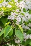 开花的树Catalpa bignonioides 白花和绿色叶子在被弄脏的背景 库存照片