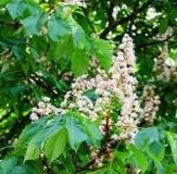 开花的栗子分支在春天的 库存图片