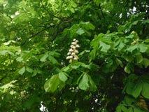 开花的栗子 结构树在公园 库存图片