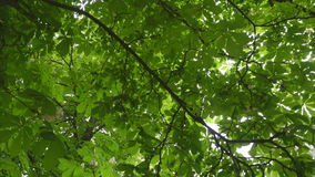 开花的栗树 影视素材