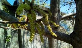 开花的核桃耳环特写镜头在树树荫下  免版税库存照片