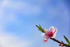 开花的桃子开花在春天 免版税图库摄影