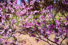 开花的桃子开花在春天 免版税库存图片