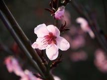 开花的桃子开花 库存照片