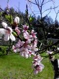 开花的桃子早午餐在庭院里 免版税库存图片