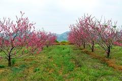 开花的桃子 免版税图库摄影