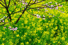 开花的桃子 免版税库存照片