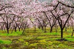 开花的桃子 库存照片