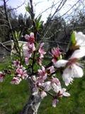开花的桃树在庭院里 免版税库存图片